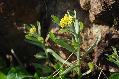 ハハコグサの黄色い花が