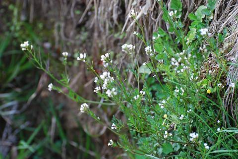 ナズナの白い花は