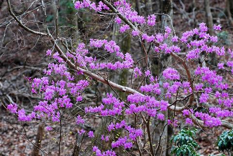 ミツバツツジのピンクの花