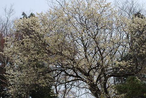 ズミの木に花が