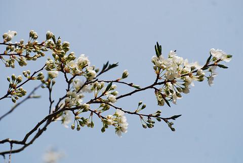 ズミの木の花
