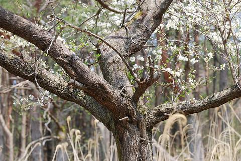 ズミの木の木肌は