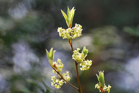 クロモジの花と新芽