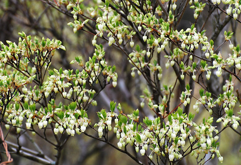 ドウダンツツジ壷型の花