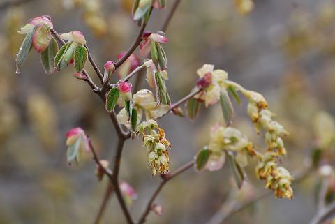 トサミズキの花の葯が