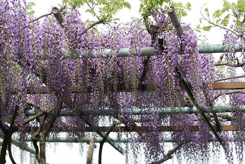 茨坪のフジ開花