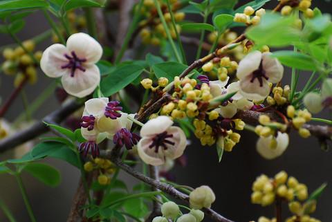 ゴヨウアケビの白い花