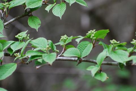 ヤブデマリの花芽が
