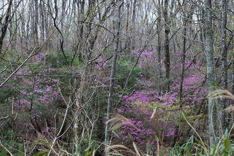 ミツバツツジがいっぱいの雑木林