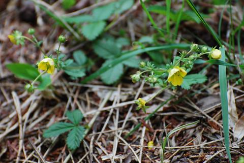 この黄色の小さな花は