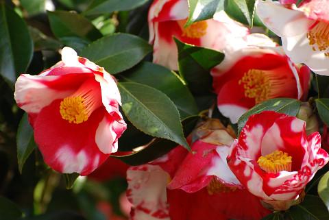 ツバキの花2