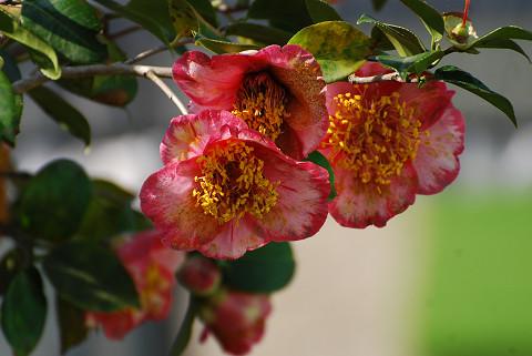 ツバキの花3