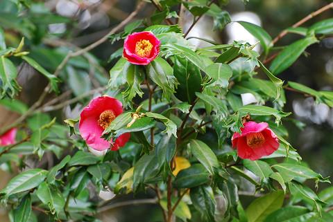 ツバキの花4