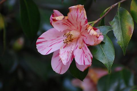 ツバキの花5