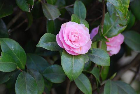 ツバキの花6