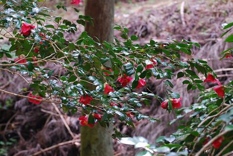 ヤブツバキの赤い花が
