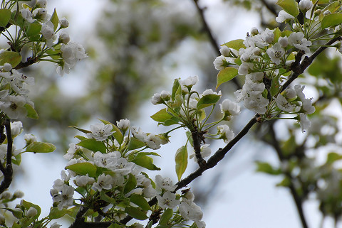ズミの白い花