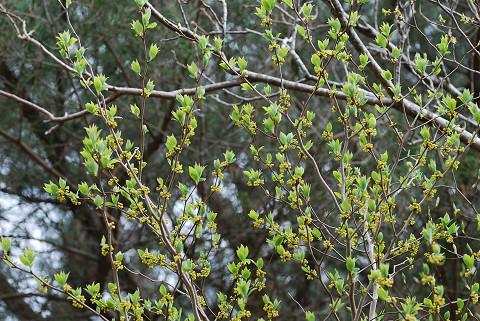 クロモジの花と新芽 (2)