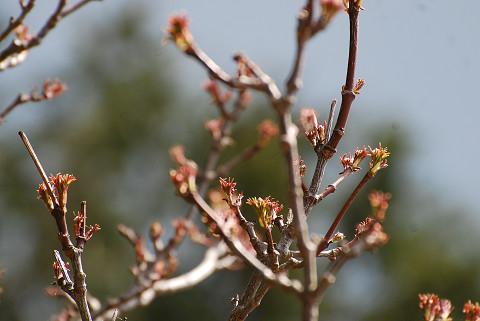 ゴンズイの新芽が赤い