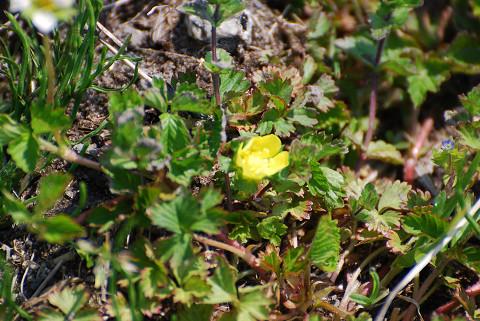 ウマノアシガタの黄色い花
