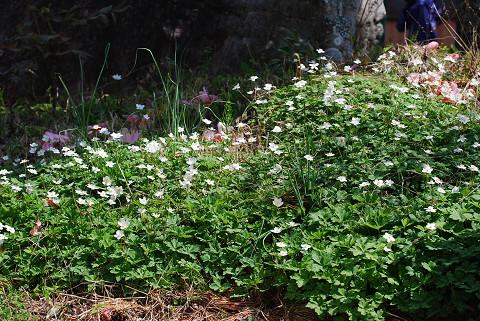 ニリンソウの花が1