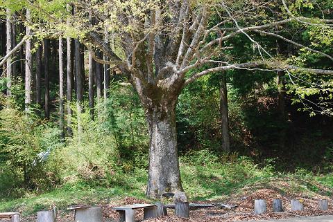 この巨木は?