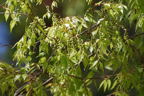 巨木の葉と雄花