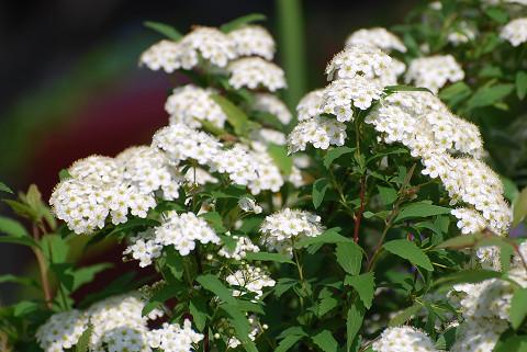 コデマリの白い花が
