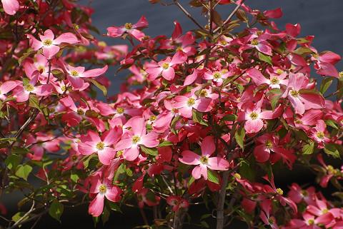 ハナミズキの赤い花が