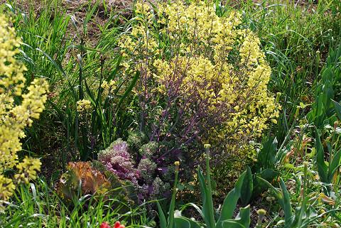 ハボタンの黄色い花