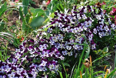 ビオラの紫の花が