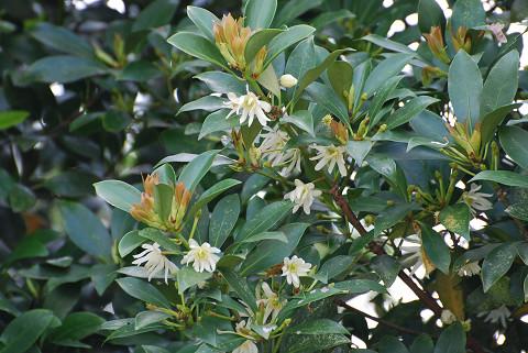 シキミの白い花は