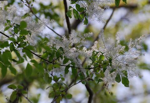 アオダモの綿のような花