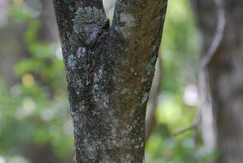 アオダモの木肌が