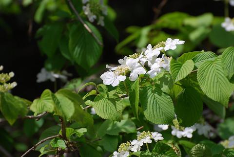 ヤブデマリに花が咲いた