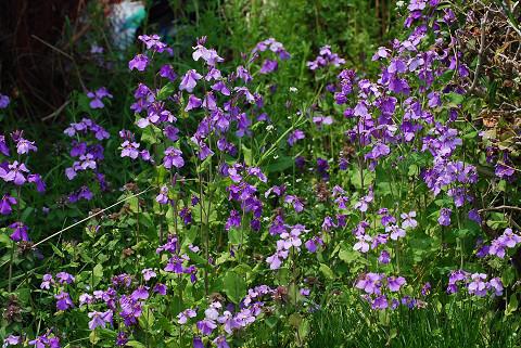 ムラサキダイコンの花が