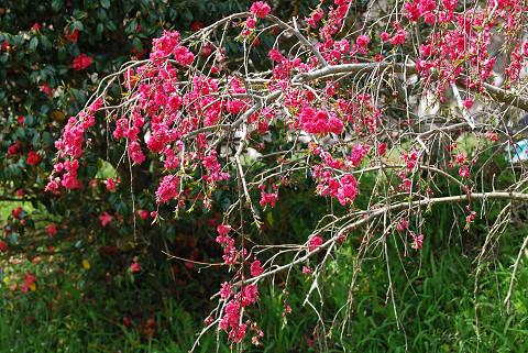 ハナモモの花が