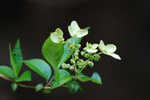 ヤブデマリに装飾花が