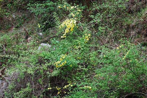 川の岸に黄色い花が