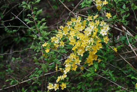 川岸のヤマブキの花が