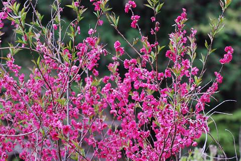 ハナモモの花がきれい