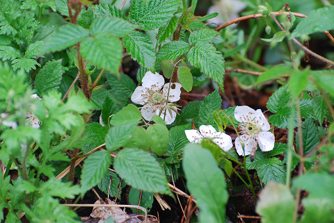 クサイチゴの白い花が