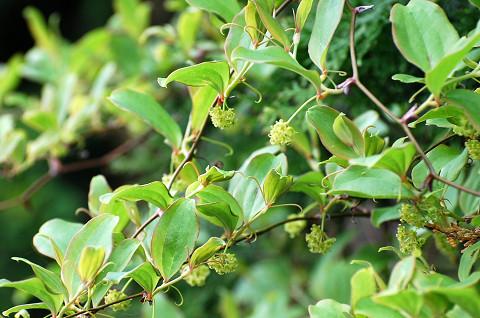サルトリイバラの黄色い花