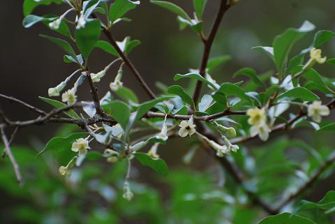 ナツグミに花が咲いて