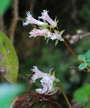 イワカガミの花が美しい