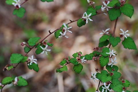 ニガイチゴの白い花が