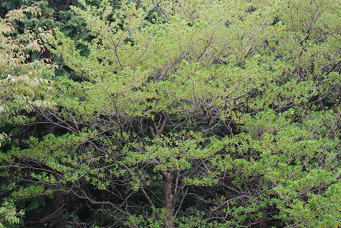 本宮山のクロモジ巨木