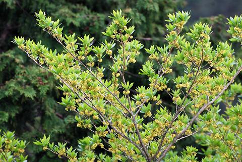 本宮山のクロモジ巨木2