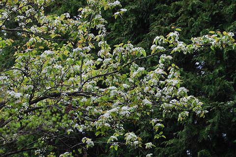 ズミの白い花がいっぱい