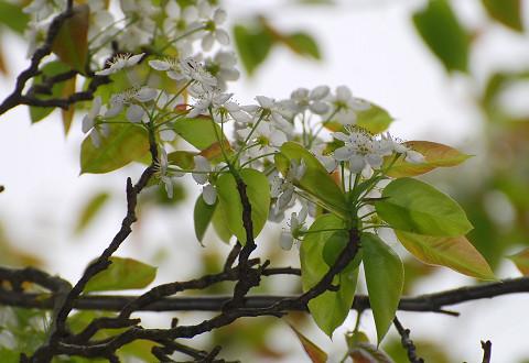 ズミの白い花がいっぱい2